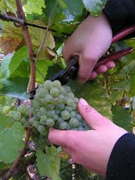 A szőlészetnek számos módszere van